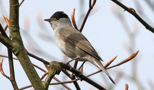 Messiaen blackcap warbler male